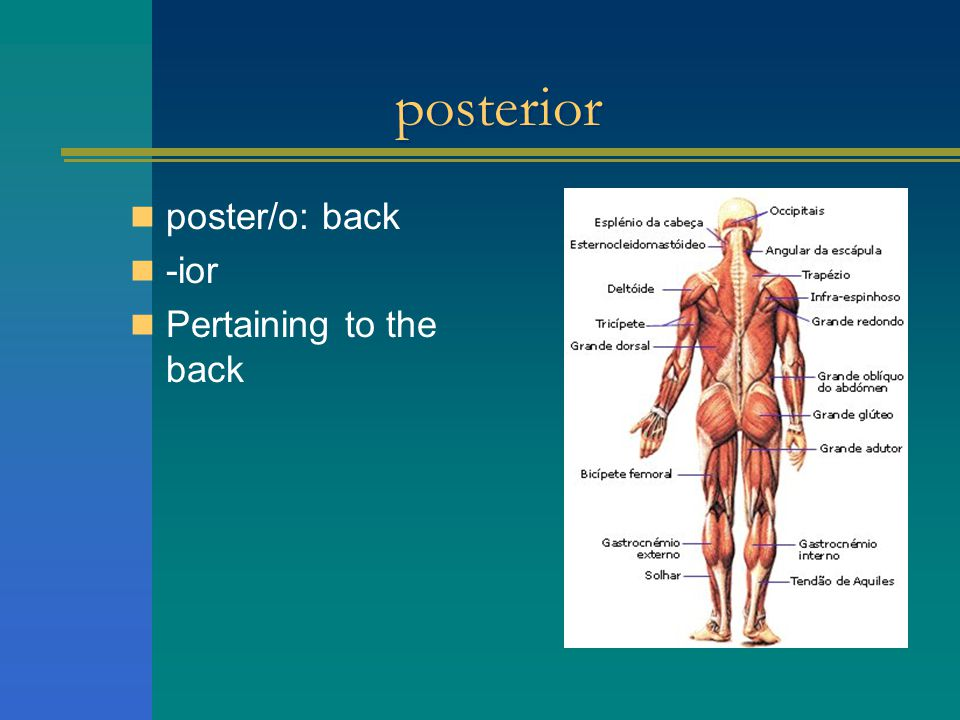 posterior poster/o: back -ior Pertaining to the back