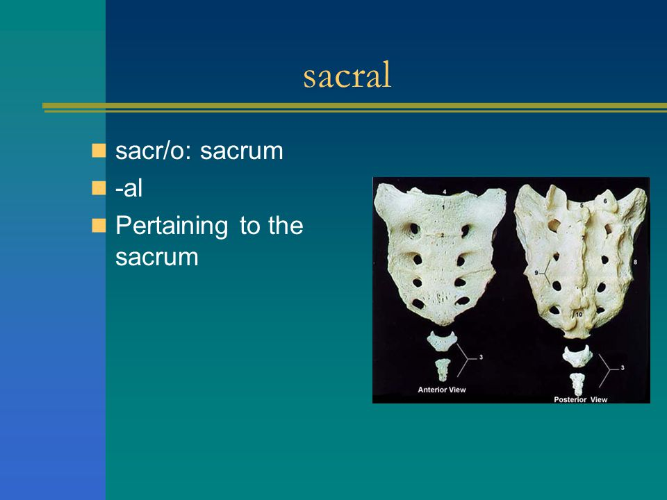 sacral sacr/o: sacrum -al Pertaining to the sacrum