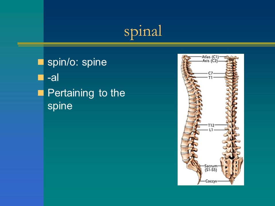spinal spin/o: spine -al Pertaining to the spine