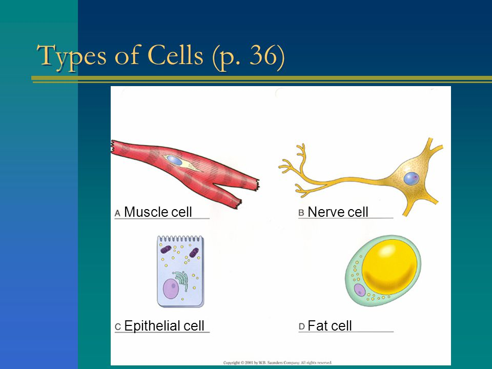 Types of Cells (p. 36) Muscle cell Nerve cell Epithelial cell Fat cell