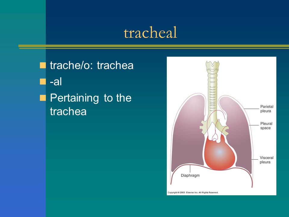 tracheal trache/o: trachea -al Pertaining to the trachea