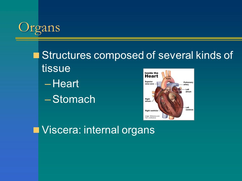 Organs Structures composed of several kinds of tissue Heart Stomach