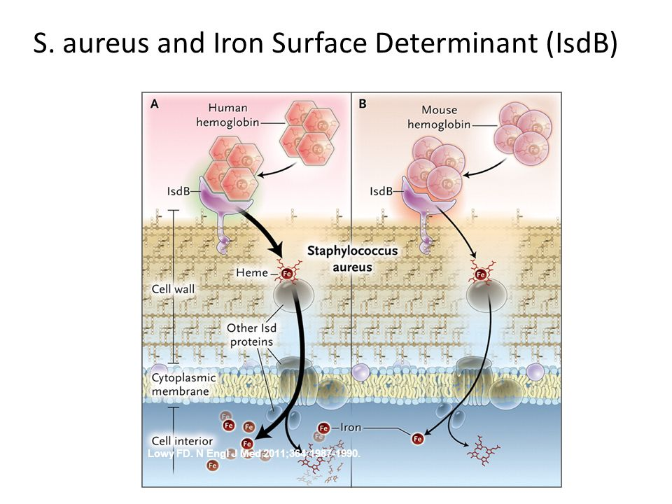 S. aureus and Iron Surface Determinant (IsdB) .
