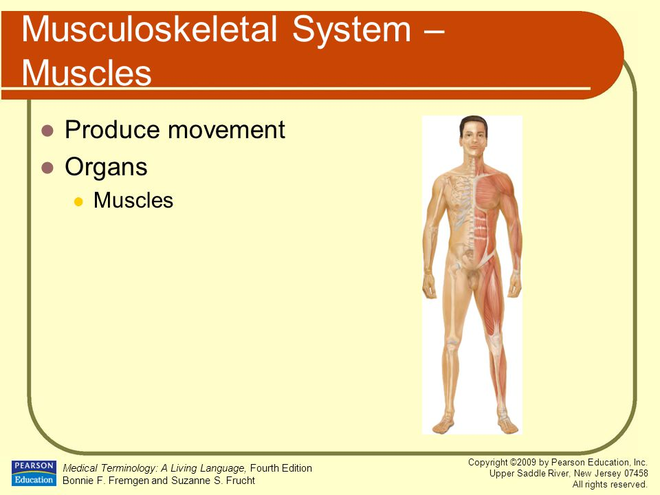 Musculoskeletal System – Muscles