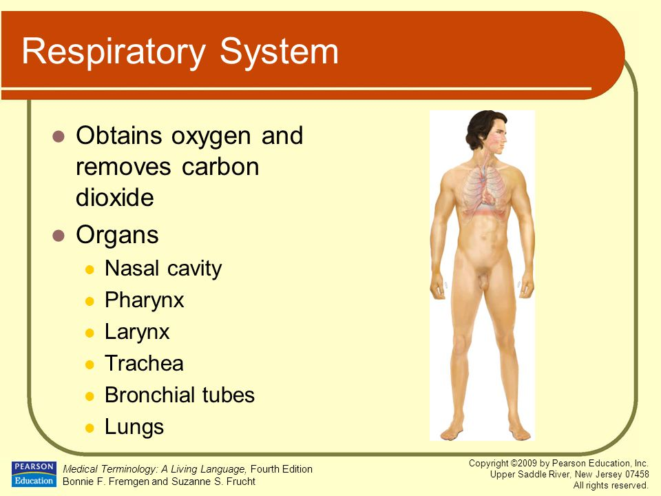Respiratory System Obtains oxygen and removes carbon dioxide Organs