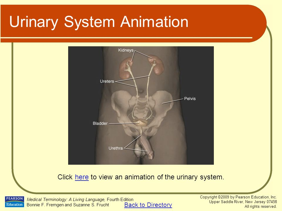 Urinary System Animation