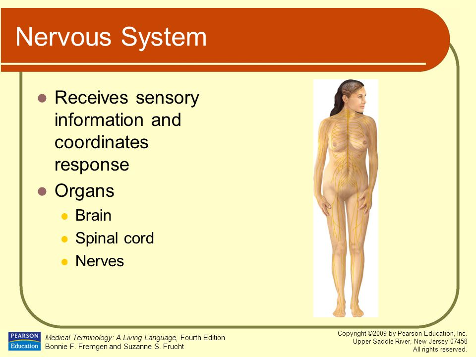 Nervous System Receives sensory information and coordinates response