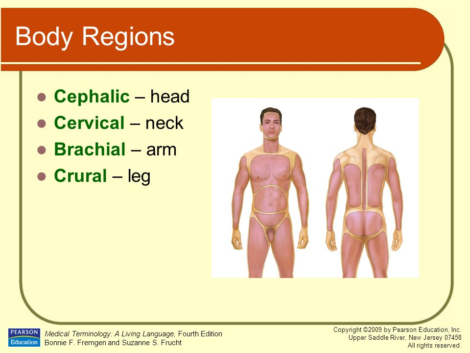 Body Regions Cephalic – head Cervical – neck Brachial – arm