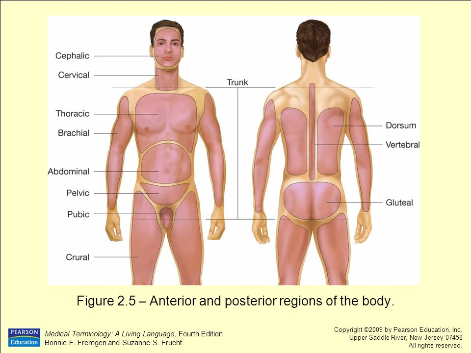 Figure 2.5 – Anterior and posterior regions of the body.