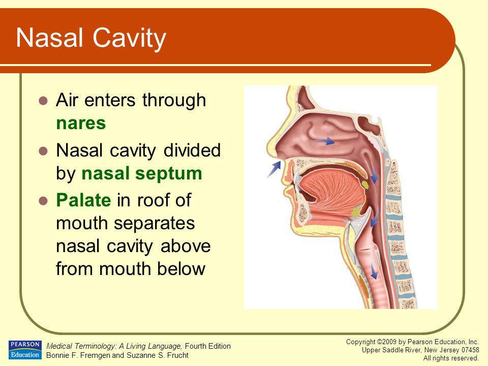 Nasal Cavity Air enters through nares