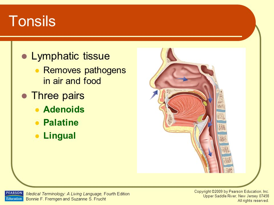 Tonsils Lymphatic tissue Three pairs Removes pathogens in air and food