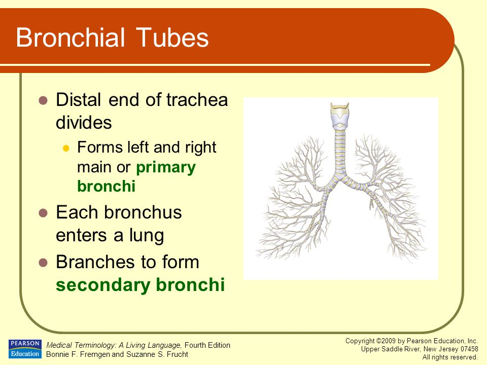 Bronchial Tubes Distal end of trachea divides