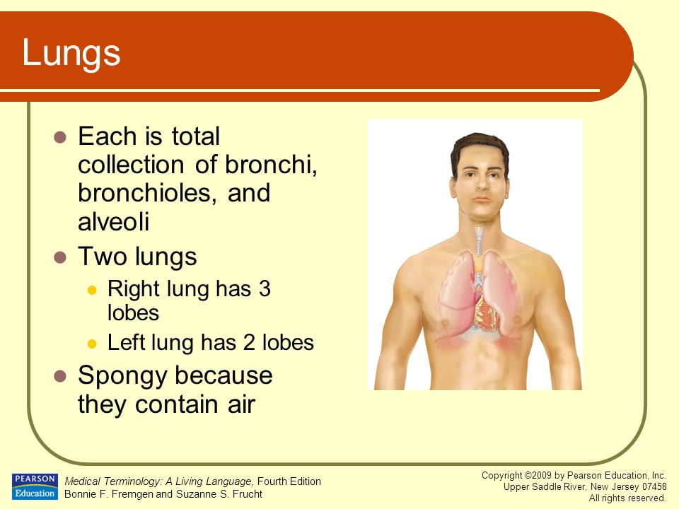 Lungs Each is total collection of bronchi, bronchioles, and alveoli