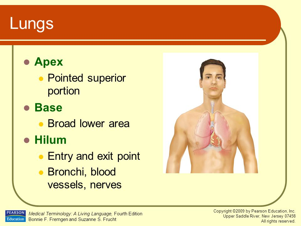 Lungs Apex Base Hilum Pointed superior portion Broad lower area
