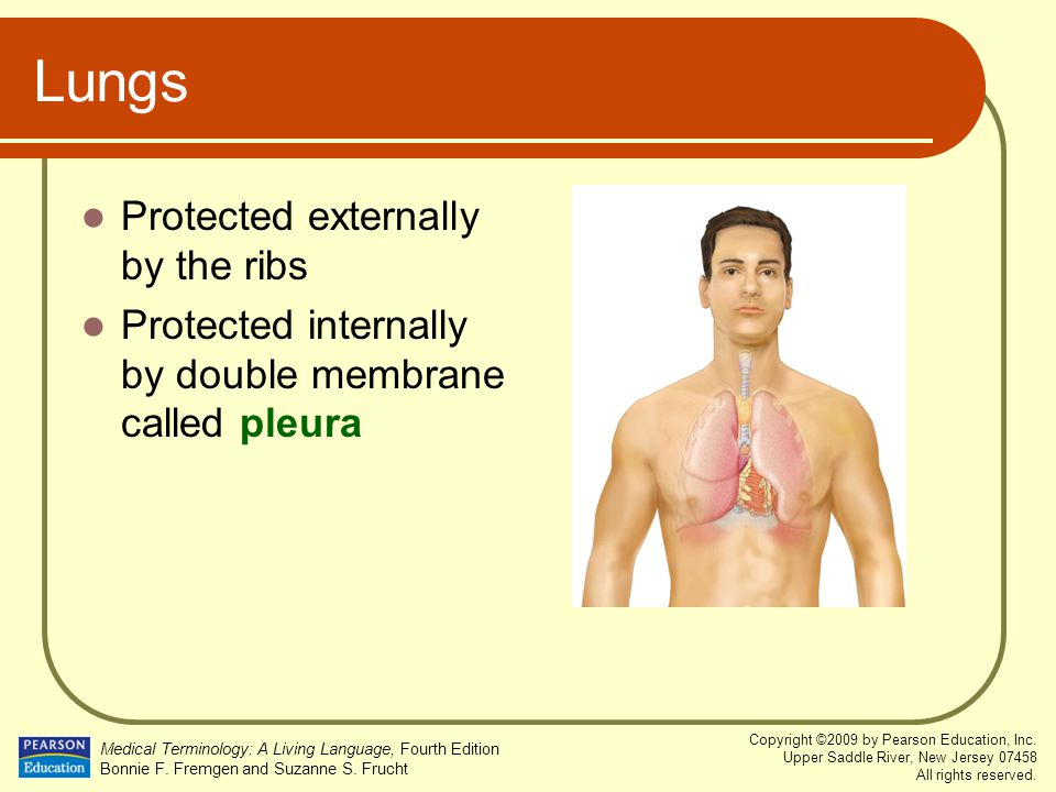 Lungs Protected externally by the ribs