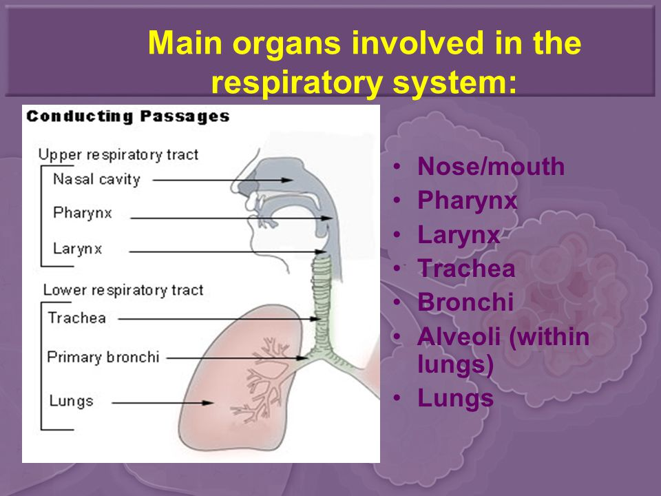 Main organs involved in the respiratory system: