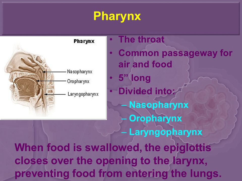 Pharynx The throat. Common passageway for air and food. 5 long. Divided into: Nasopharynx. Oropharynx.