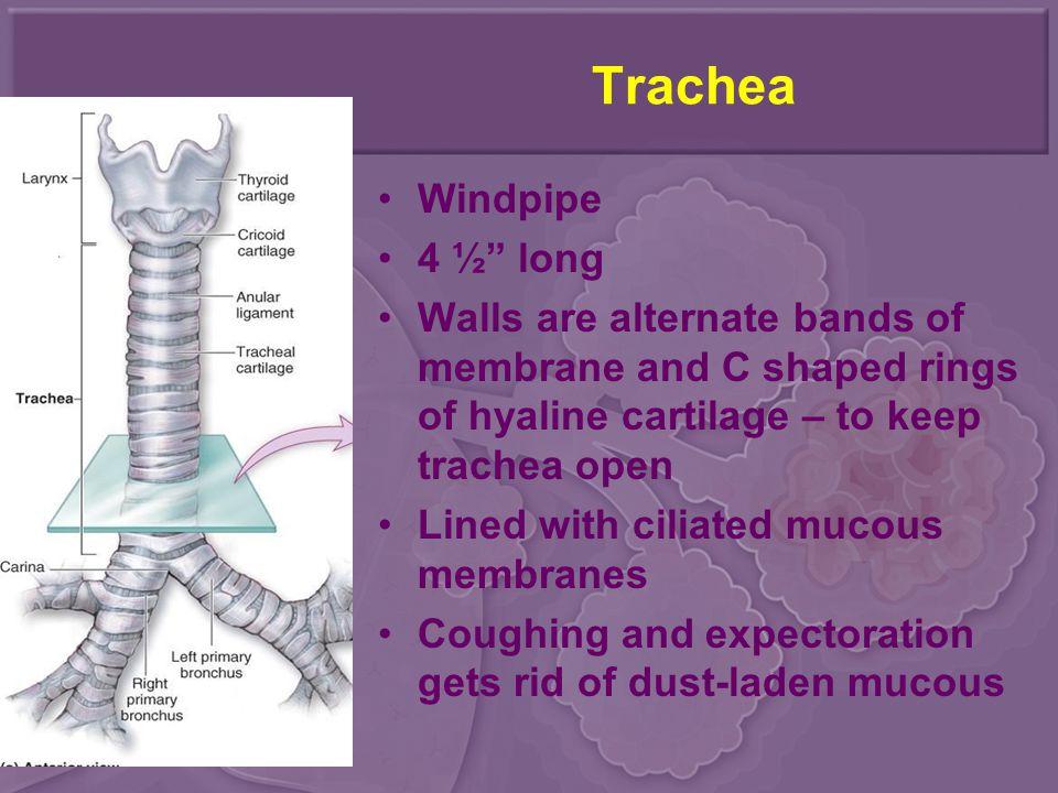 Trachea Windpipe 4 ½ long