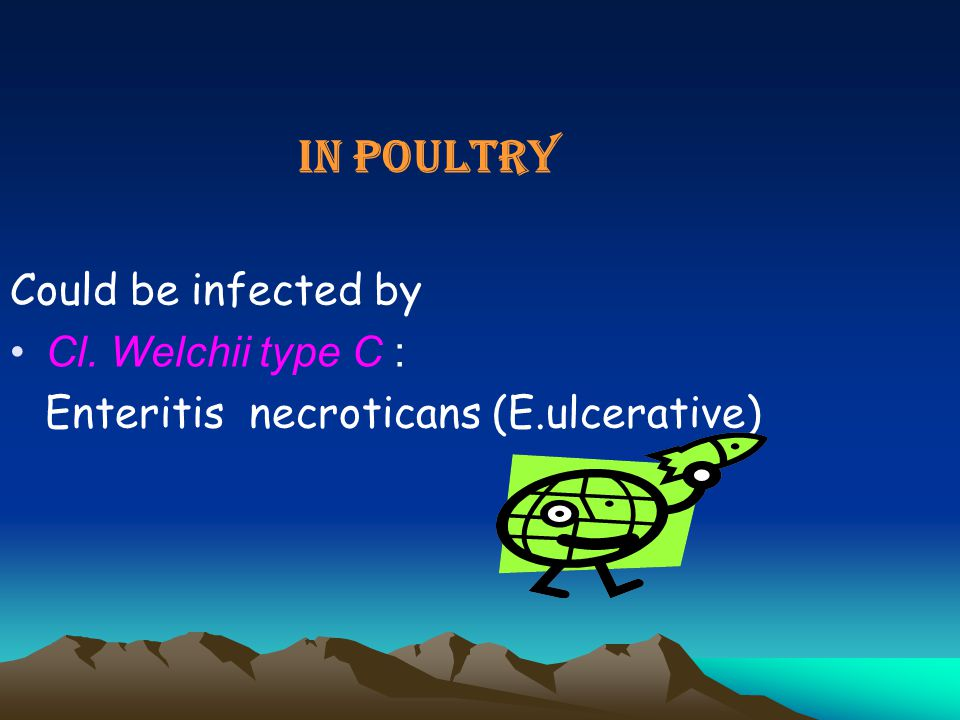 IN POULTRY Could be infected by Cl. Welchii type C :