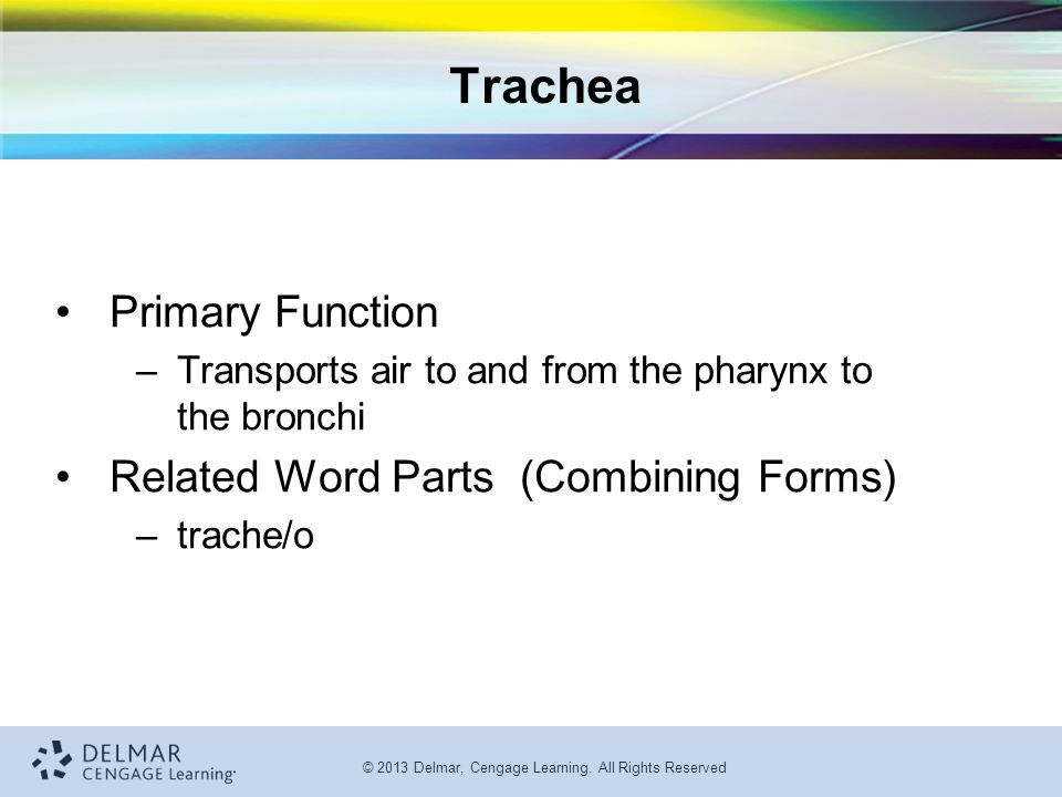 Trachea Primary Function Related Word Parts (Combining Forms)