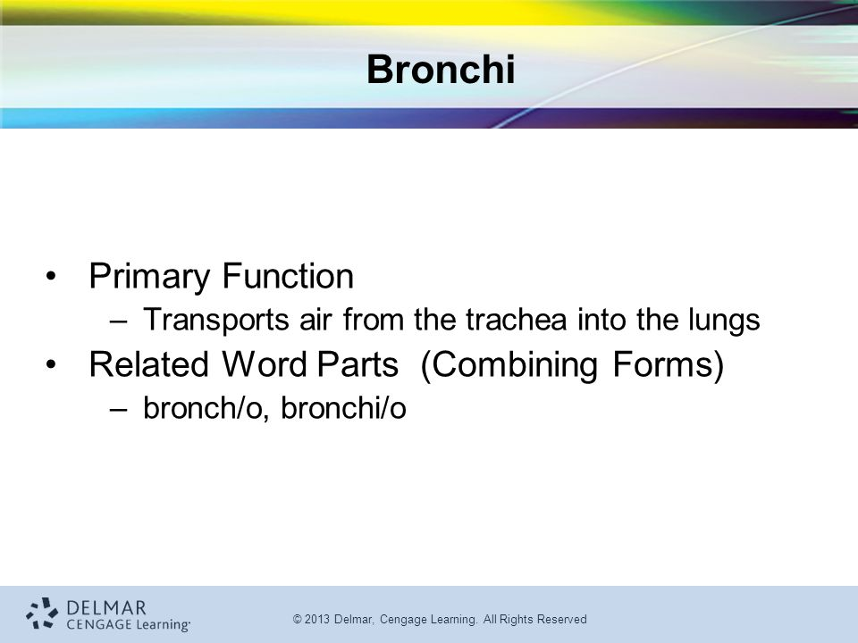 Bronchi Primary Function Related Word Parts (Combining Forms)