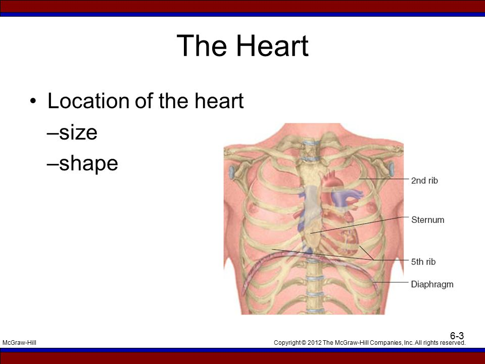 The Heart Location of the heart –size –shape Talking Points: