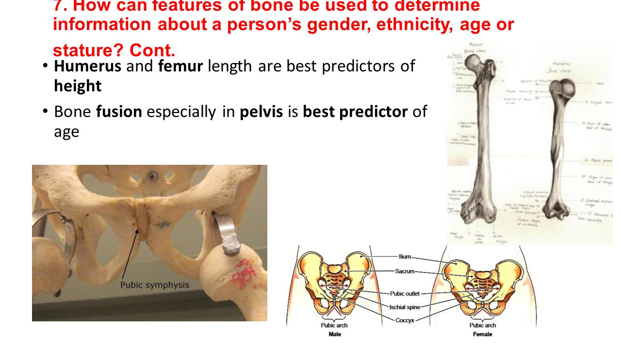 7. How can features of bone be used to determine information about a person's gender, ethnicity, age or stature Cont.