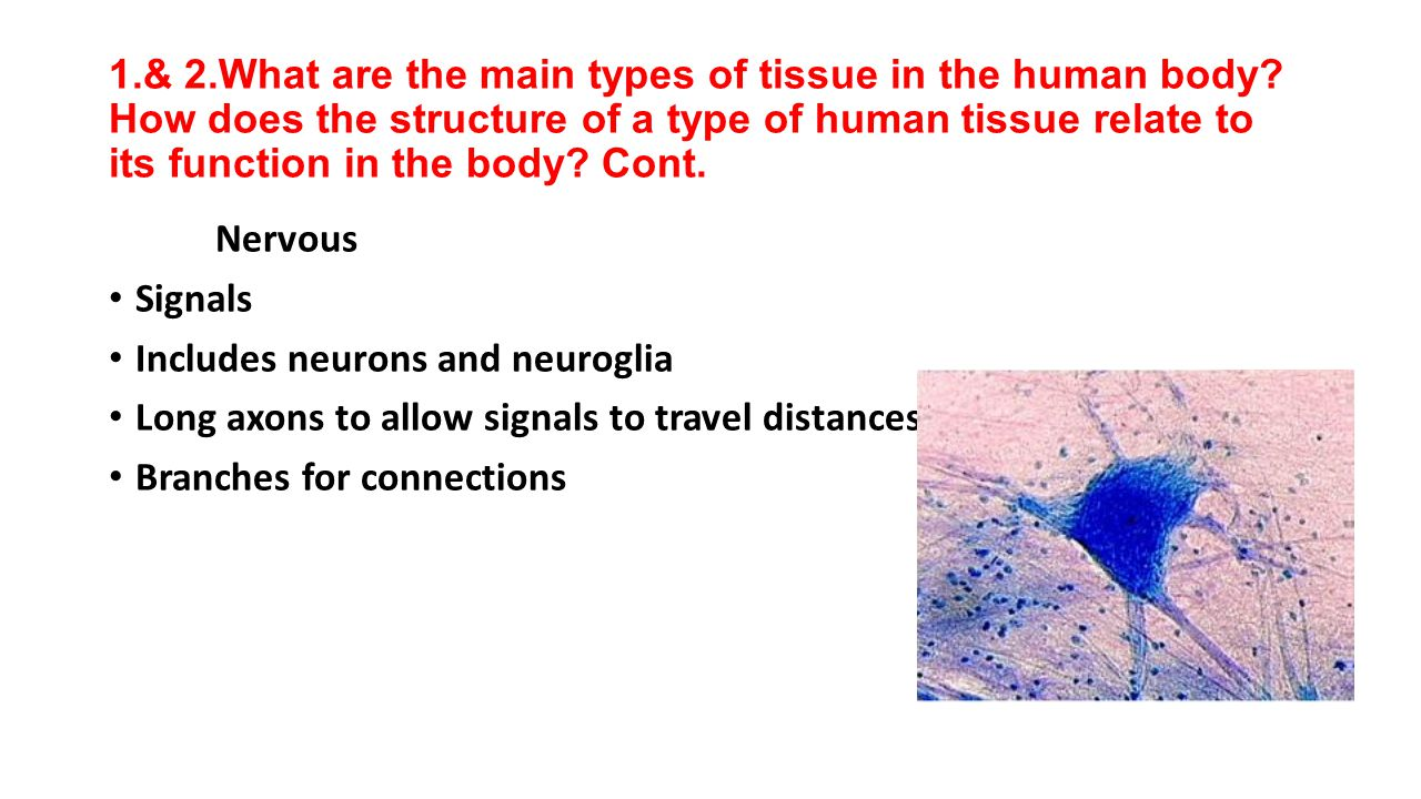 1. & 2. What are the main types of tissue in the human body