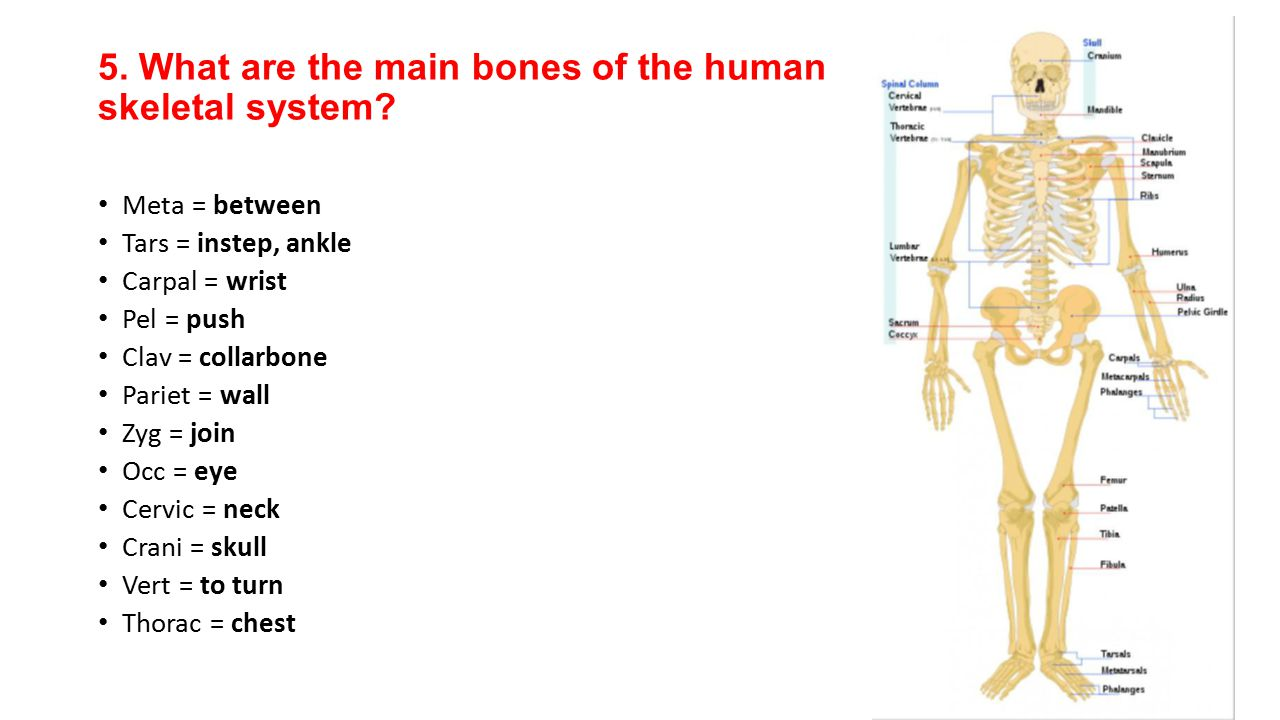 5. What are the main bones of the human skeletal system