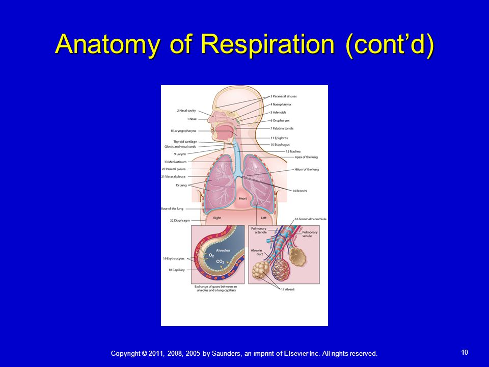 Anatomy of Respiration (cont'd)