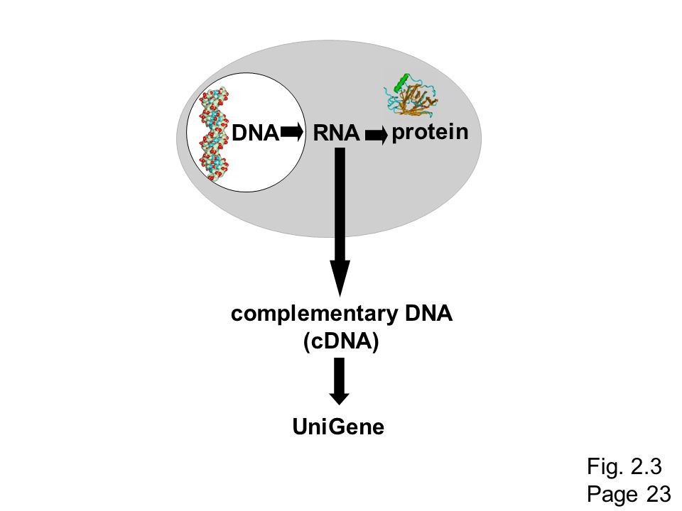 DNA RNA protein complementary DNA (cDNA) UniGene Fig. 2.3 Page 23