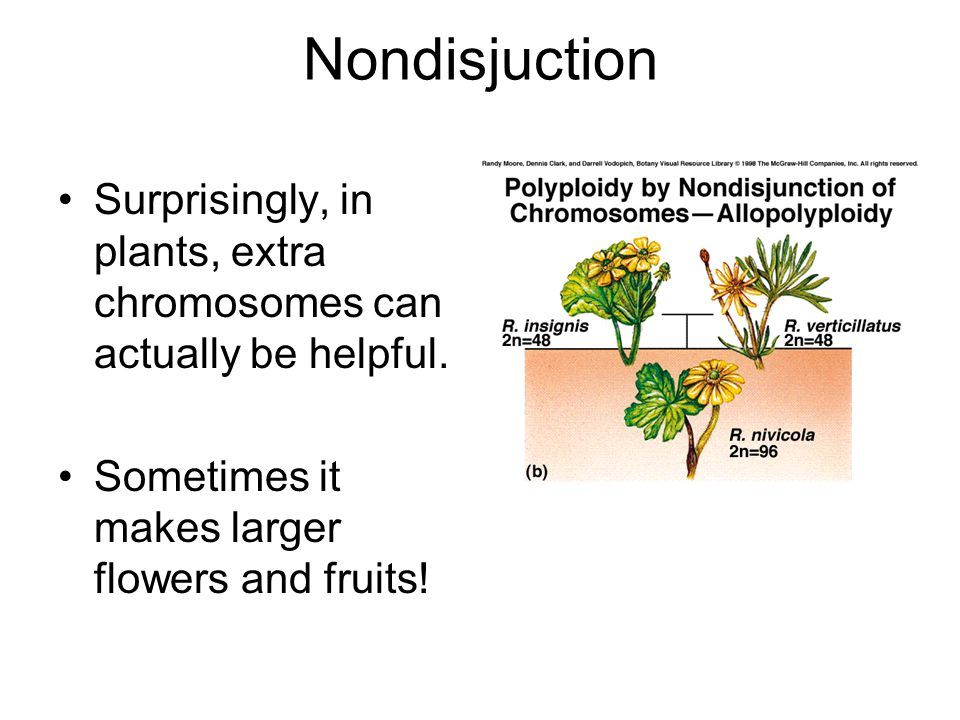 Nondisjuction Surprisingly, in plants, extra chromosomes can actually be helpful.