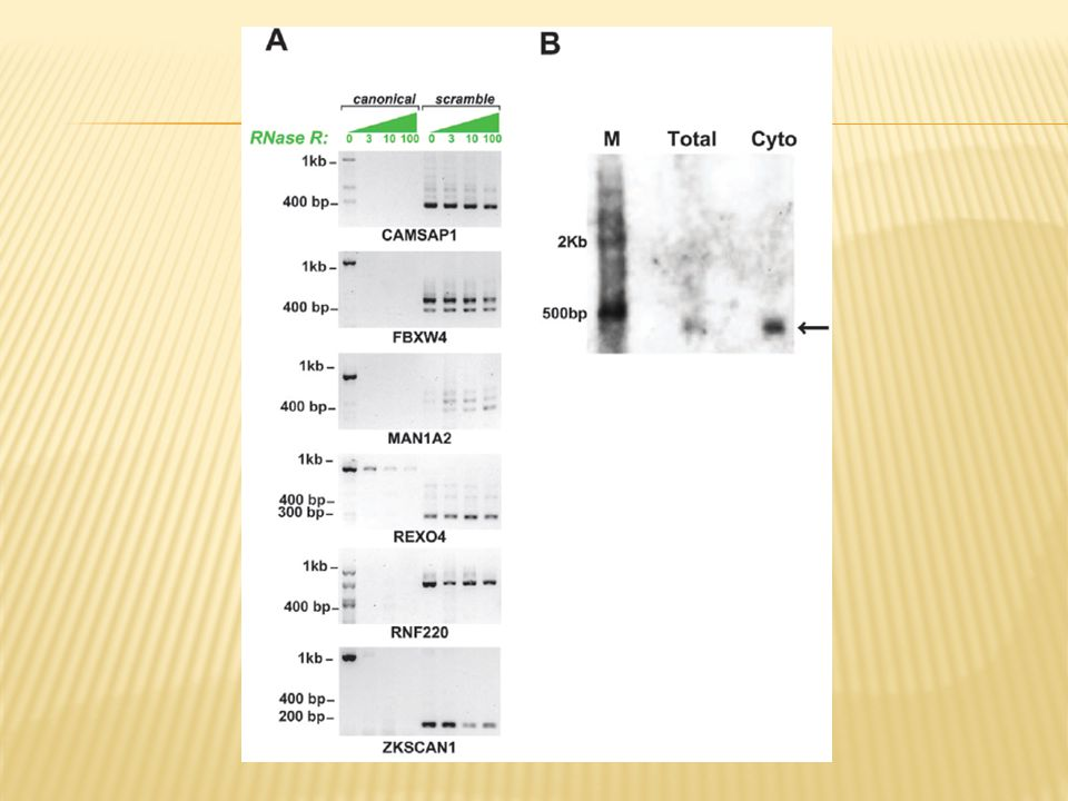 Figure 3. RNaseR assay confirms scrambled exons arise from circular RNA. Panel A: Total RNA from HeLa cells was digested with RNaseR at
