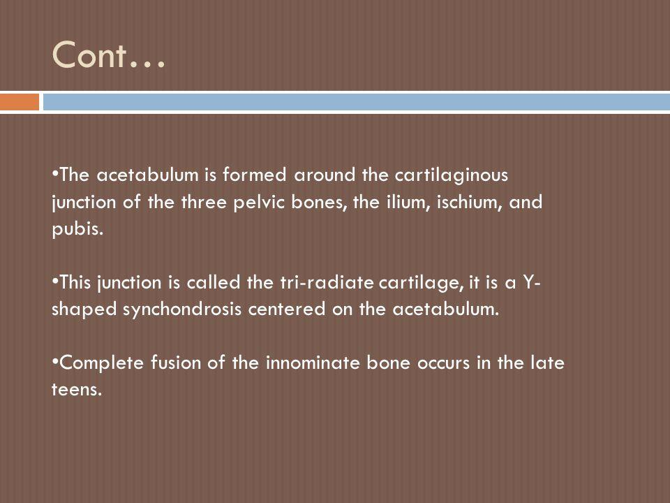 Cont… The acetabulum is formed around the cartilaginous junction of the three pelvic bones, the ilium, ischium, and pubis.