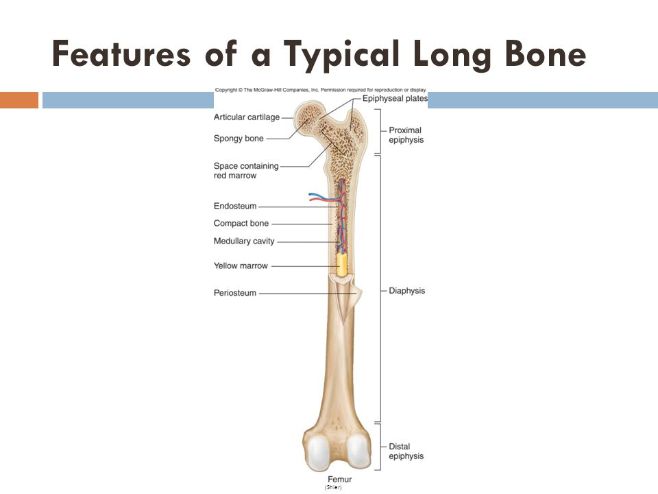 Features of a Typical Long Bone