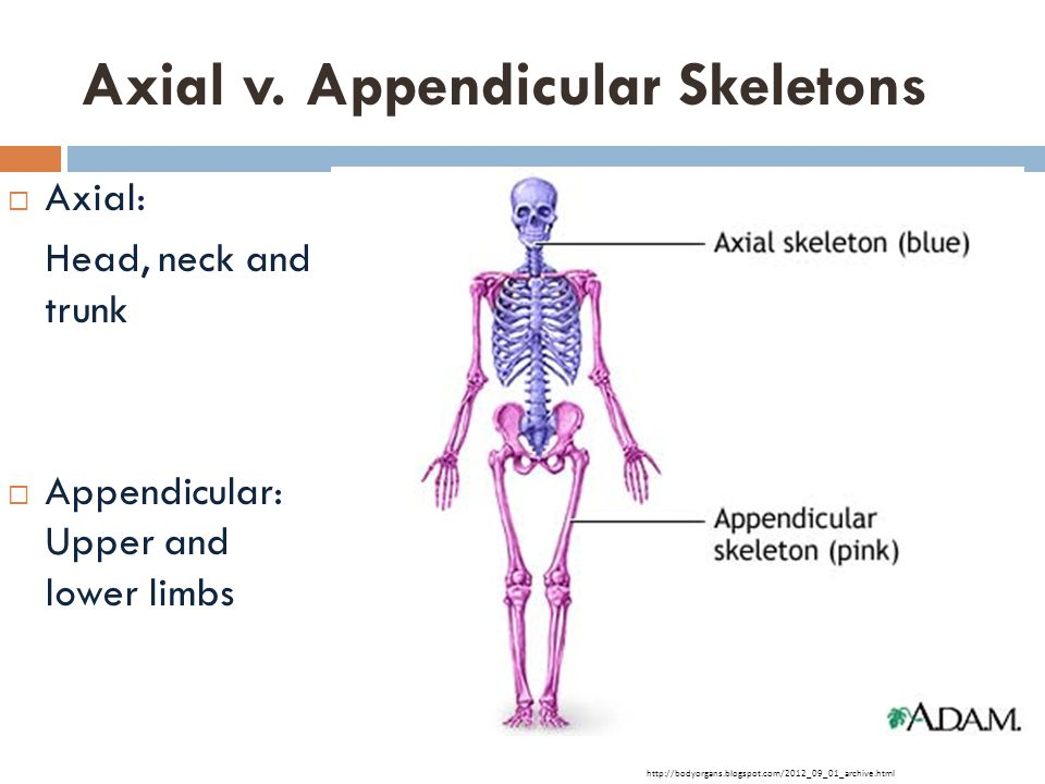 Axial v. Appendicular Skeletons