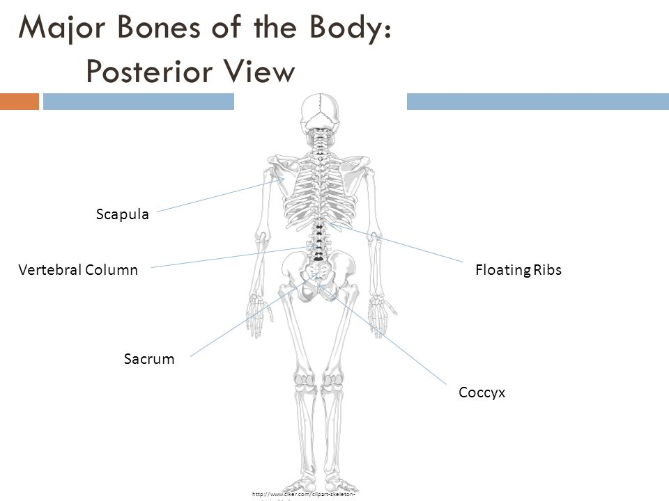 Major Bones of the Body: Posterior View