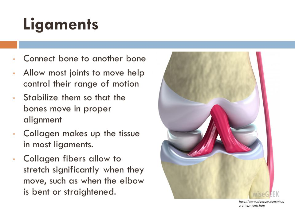 Ligaments Connect bone to another bone