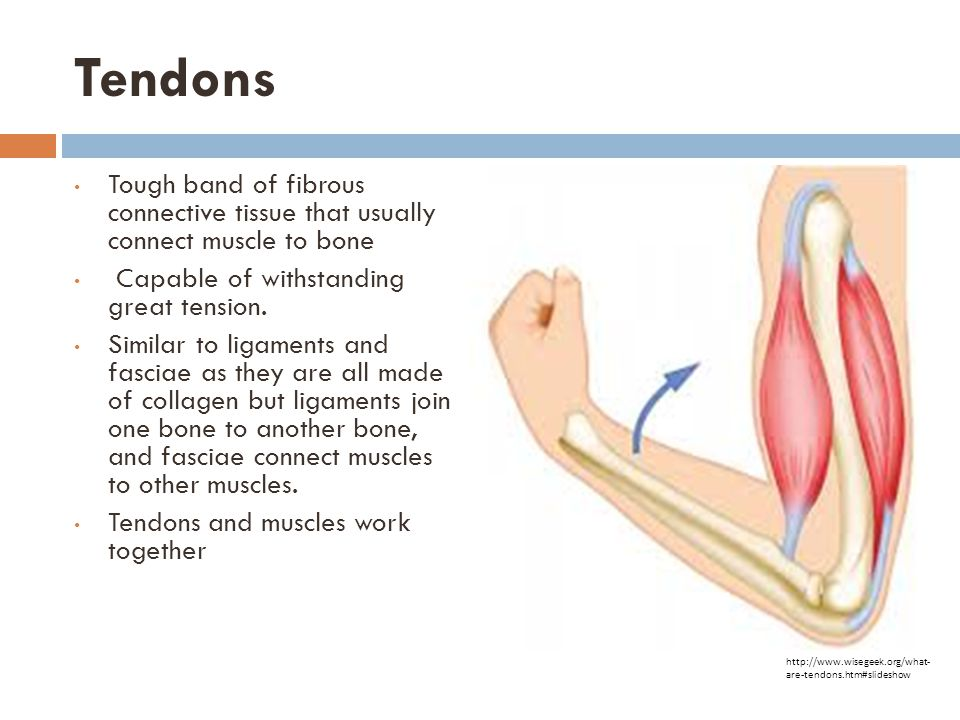 Tendons Tough band of fibrous connective tissue that usually connect muscle to bone. Capable of withstanding great tension.