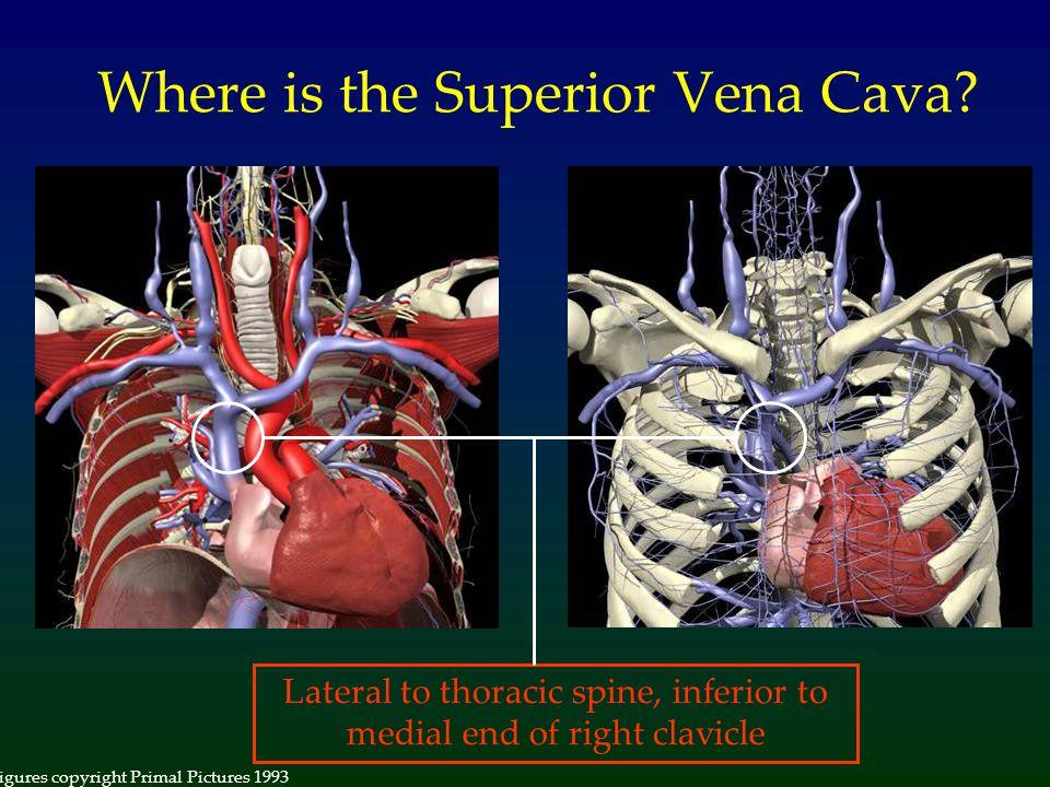 Where is the Superior Vena Cava