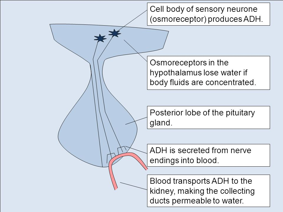 Cell body of sensory neurone (osmoreceptor) produces ADH.