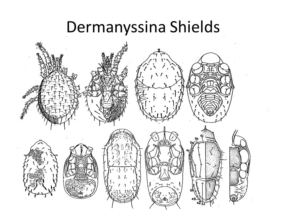 Dermanyssina Shields