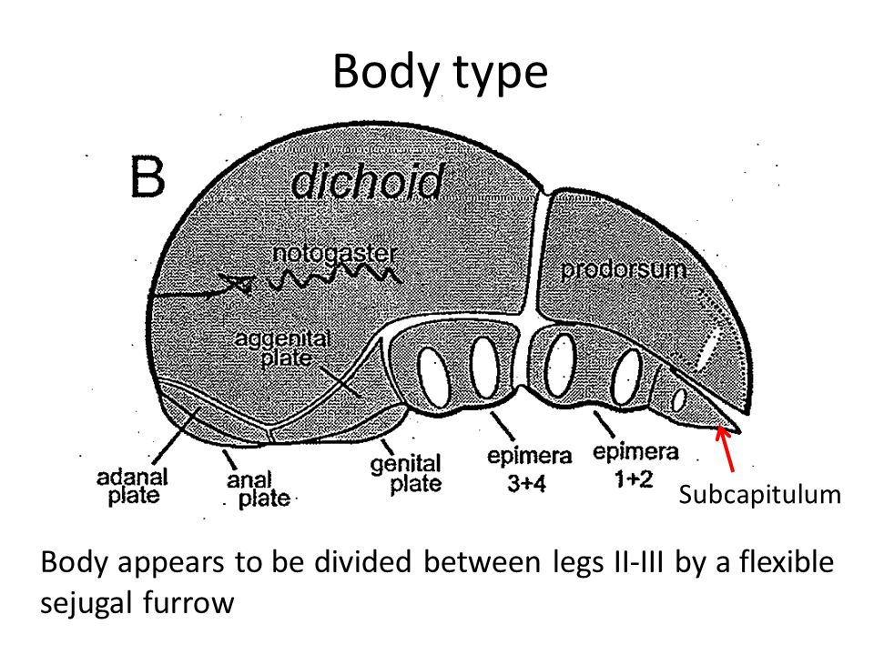 Body type Subcapitulum Body appears to be divided between legs II-III by a flexible sejugal furrow