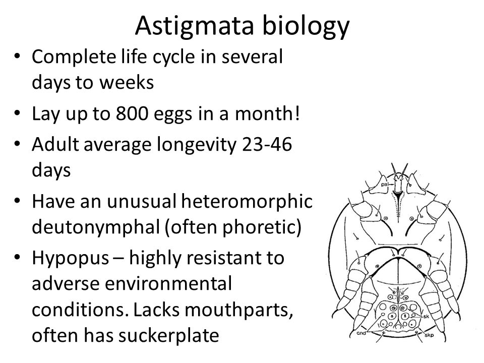 Astigmata biology Complete life cycle in several days to weeks