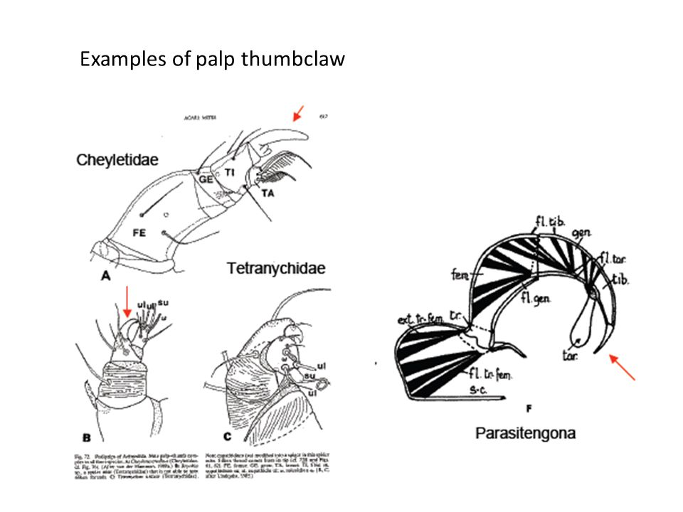Examples of palp thumbclaw