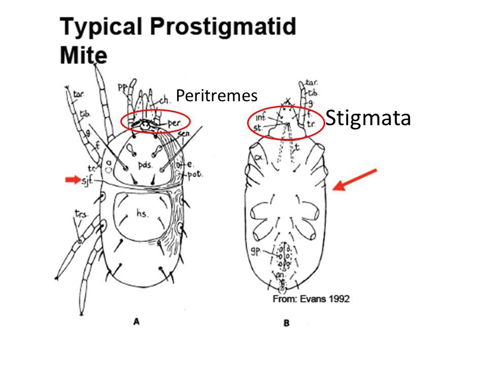 Peritremes Stigmata