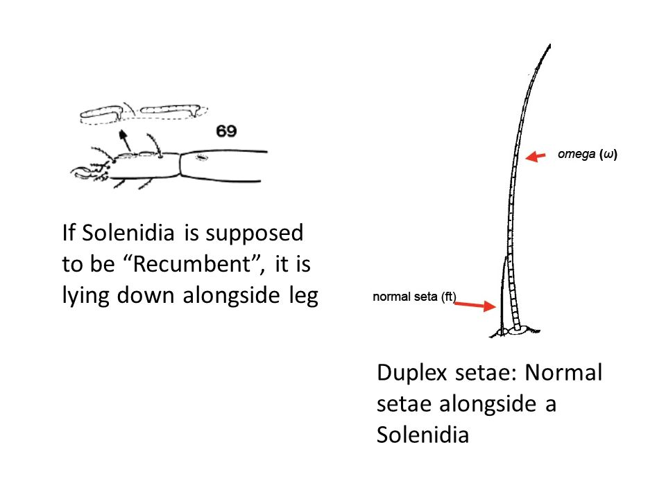 If Solenidia is supposed to be Recumbent , it is lying down alongside leg