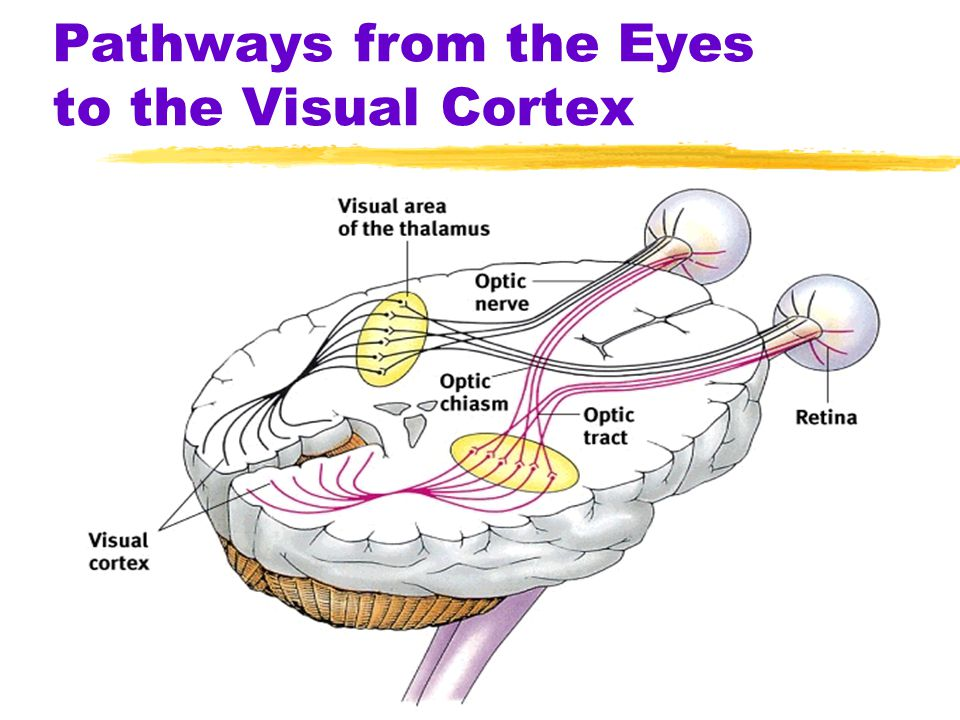 Pathways from the Eyes to the Visual Cortex