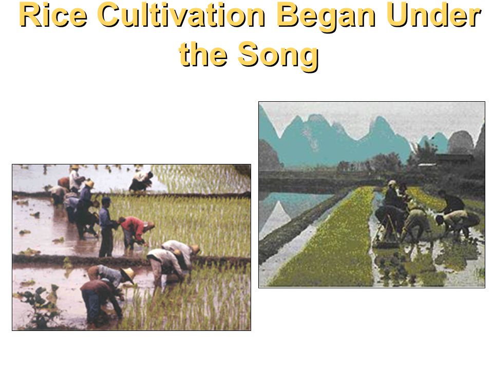 Rice Cultivation Began Under the Song