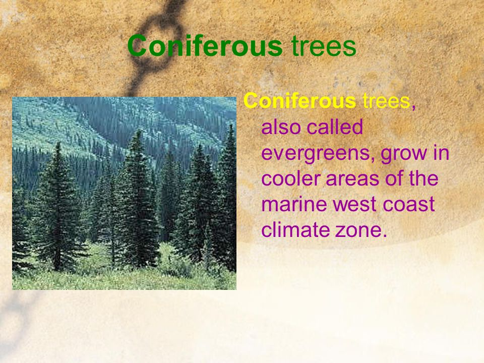 Coniferous trees Coniferous trees, also called evergreens, grow in cooler areas of the marine west coast climate zone.